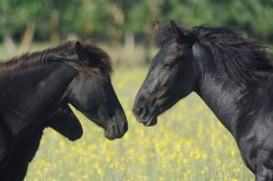 DANUBE DELTA WILD HORSES