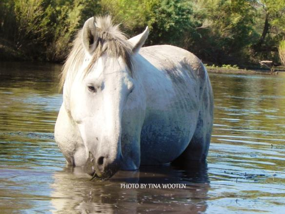 A Wild Salt River Horse...Photo By Tina Wooten