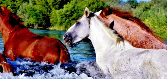 The Salt River Wild Horses..Photo By Tina Wooten