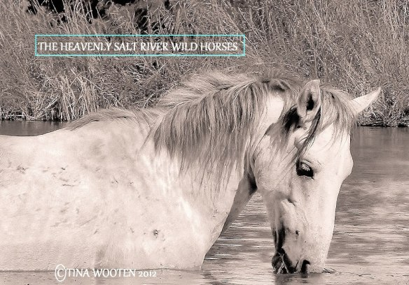 The Heavenly Salt River Wild Horses.. ♥ Photo By Tina Wooten — at Tonto National Forest.
