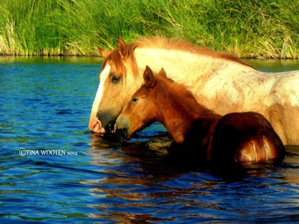 A Wild Salt River Stallion named Wisdom on the river with his baby foal.... ♥ Photo By Tina Wooten