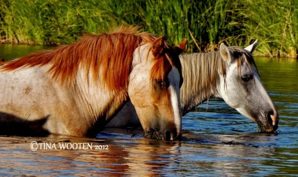 Fall In Love With The Salt River Wild Horses.. ♥ Photo By Tina Wooten