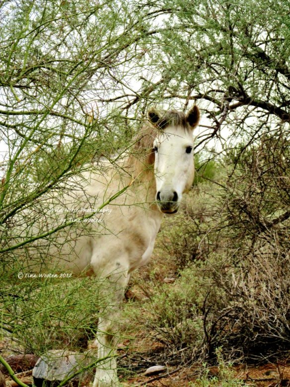 A Salt River Wild Stallion.. Photo By Tina Wooten —