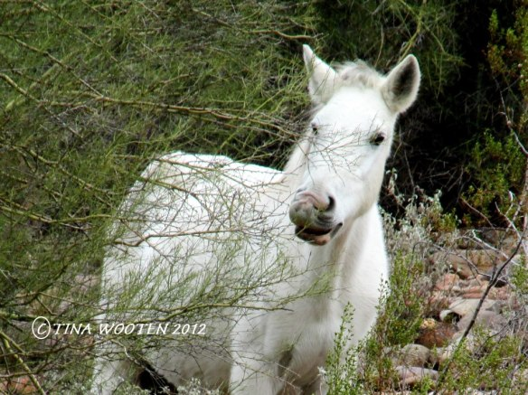 "This photo I named ...""Wild Angel In White"" Wild Horse Photo By Tina Wooten —"