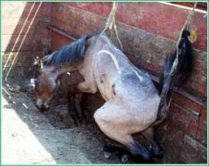 STOP MEXICAN HORSE SLAUGHTER